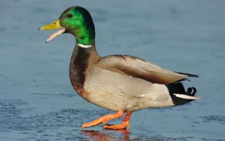 duck2_1599748c